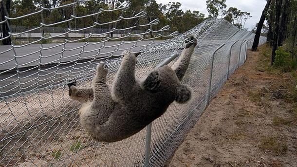 Protecting Roadside Koalas