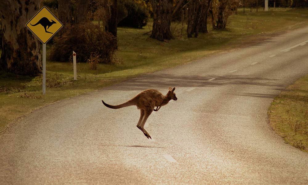 RMS Fencing Stops Animals Causing Accidents on Australian Roads
